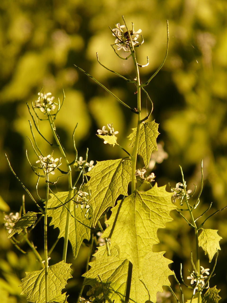 garlic mustard garlic herb knoblauchhederich free photo