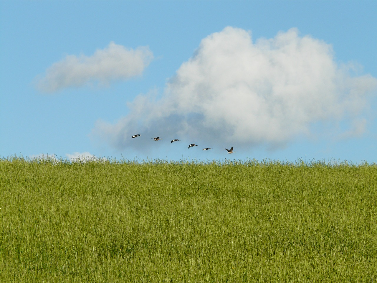 geese migratory birds fly free photo