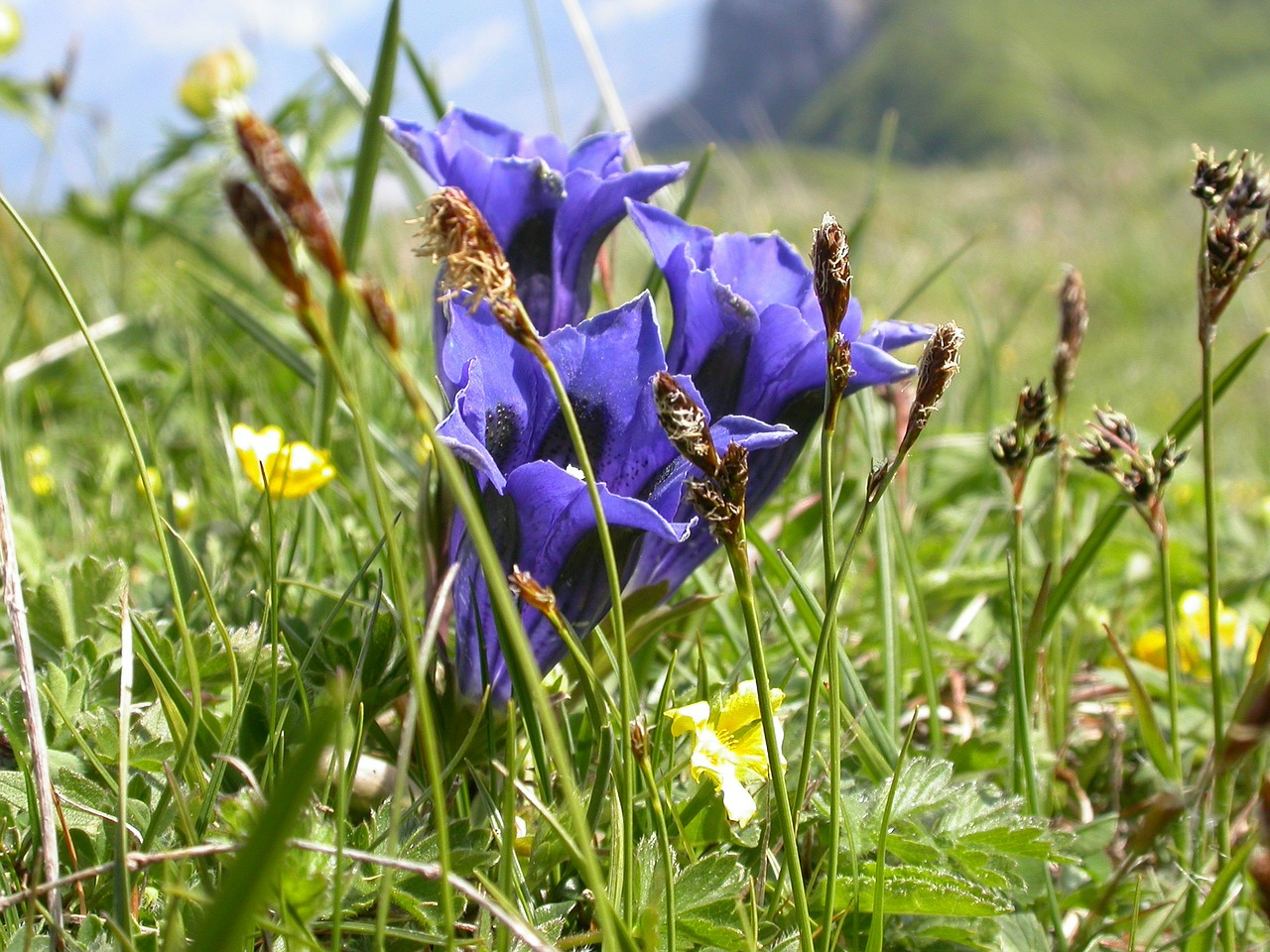 gentian spring flowers free photo