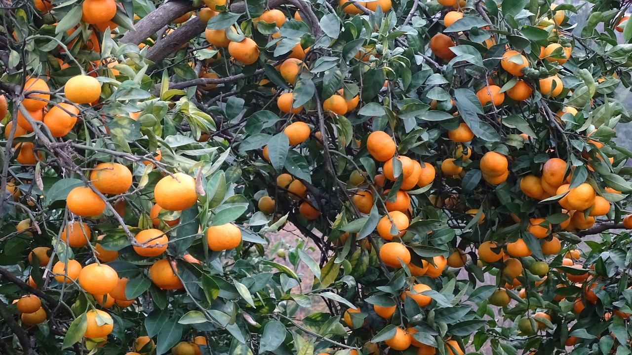 georgia,tangerine,fruit,free pictures, free photos, free images, royalty free, free illustrations, public domain