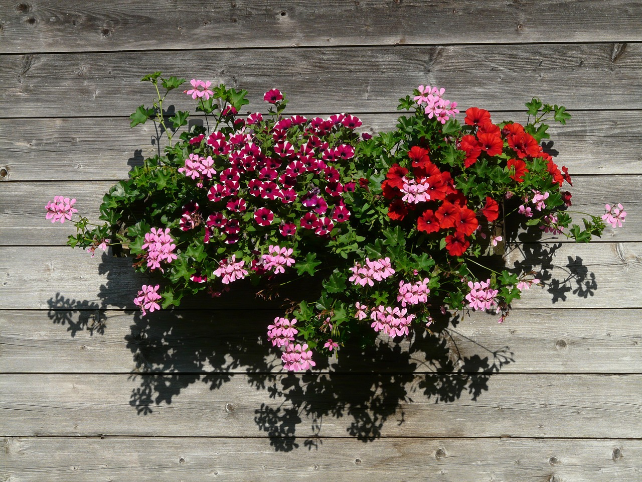geranium balcony plant ornamental plant free photo