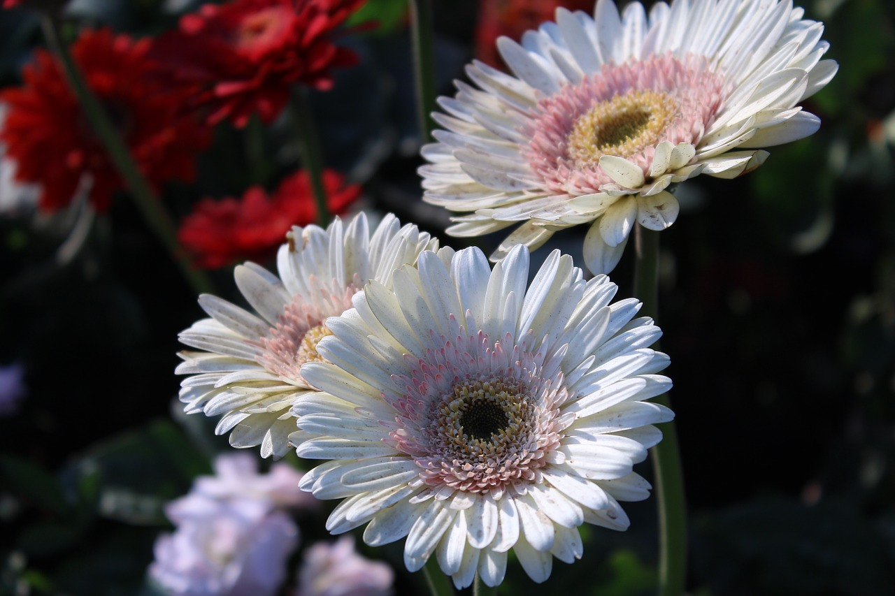gerbera white flowers free photo