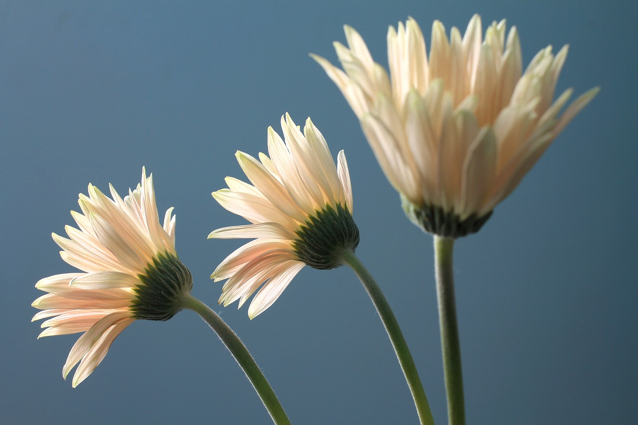 Gerbera Daisyflowerplantgerberaornamental Free Photo From