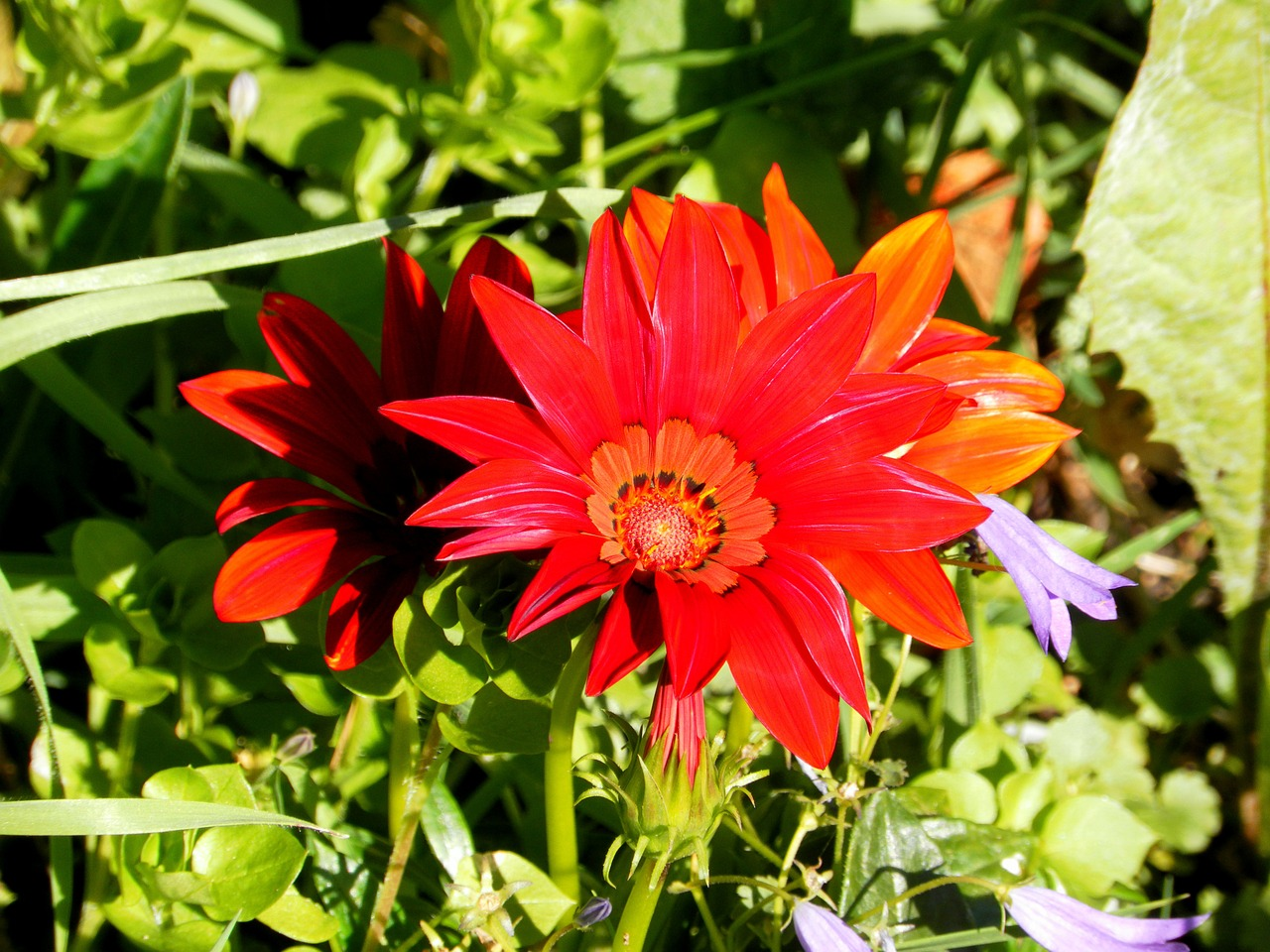 gerberas flower summer free photo