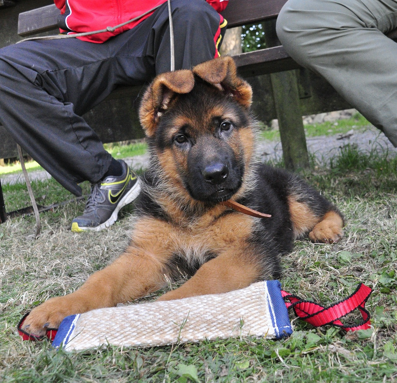 german shepherd puppy remote access free photo