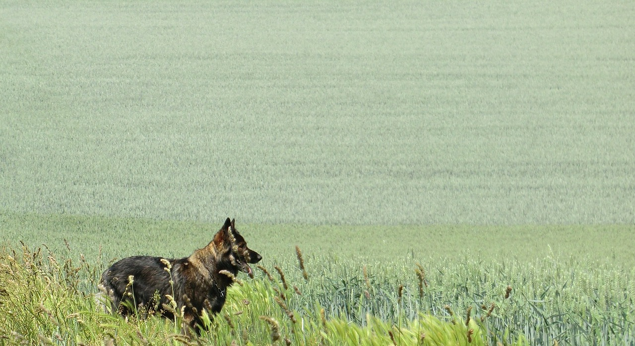 german shepherd grey field free photo