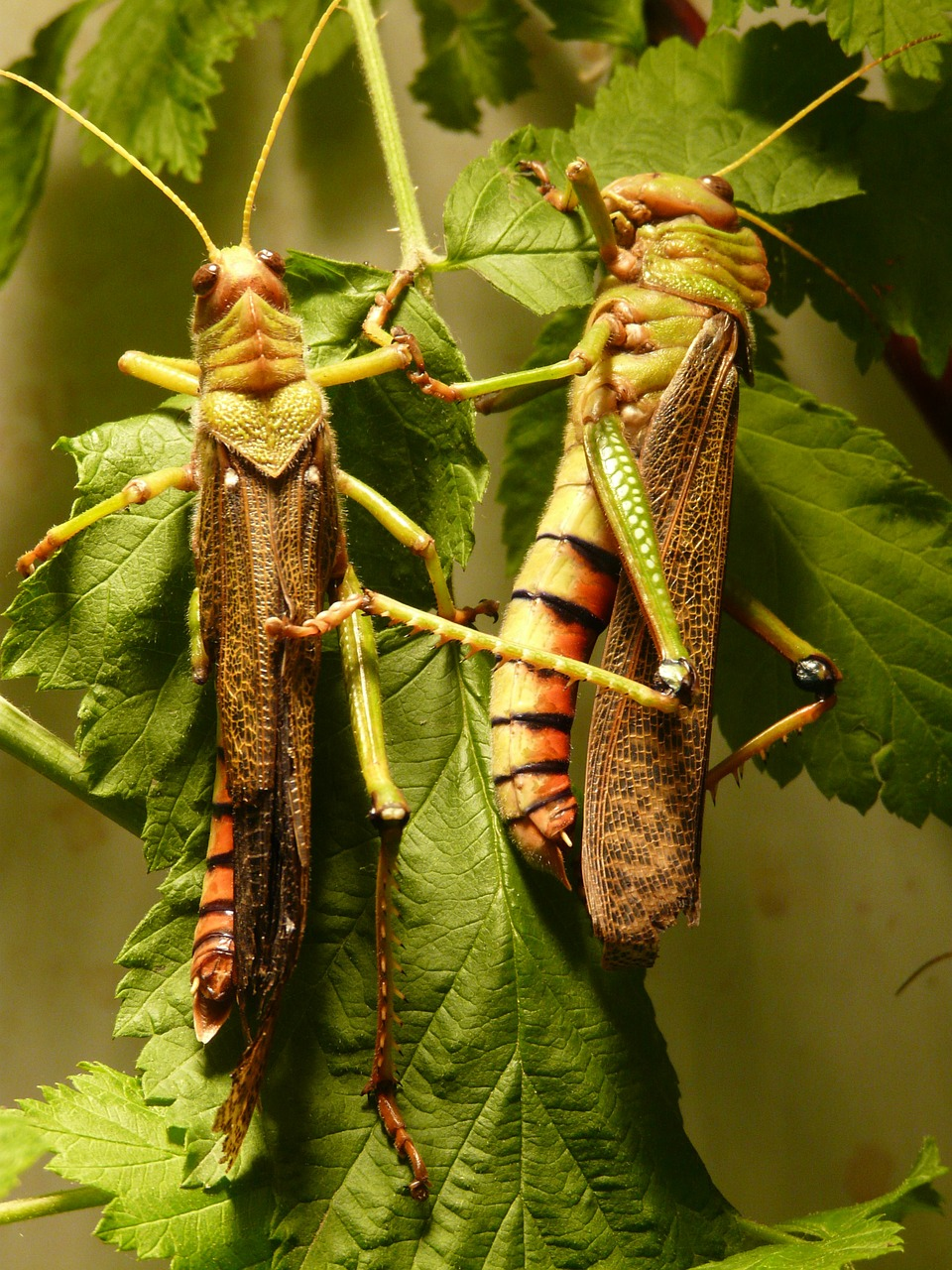 giant grasshopper grasshopper insect free photo