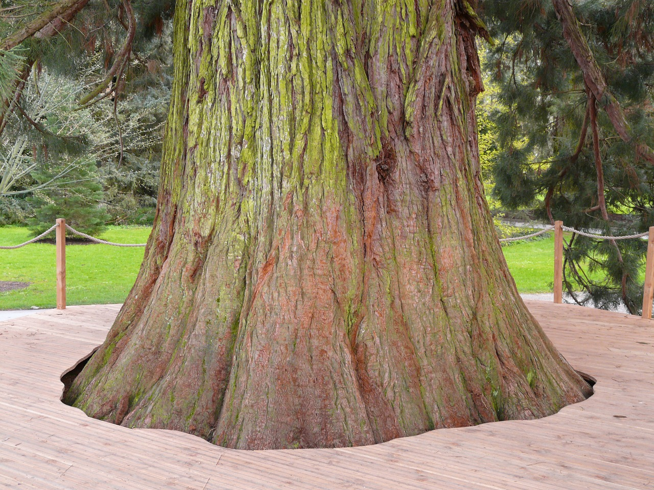 giant redwood sequoiadendron giganteum tree free photo