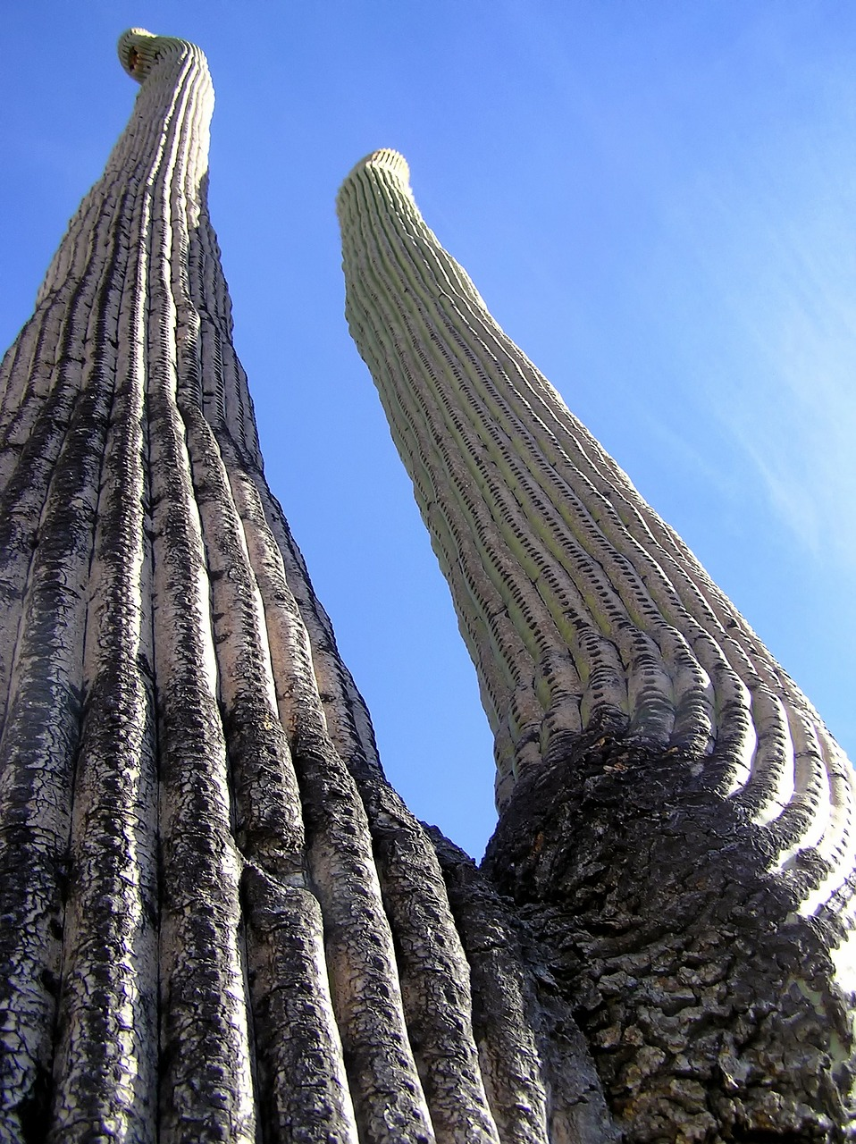 giant saguaro cactus cacti free photo