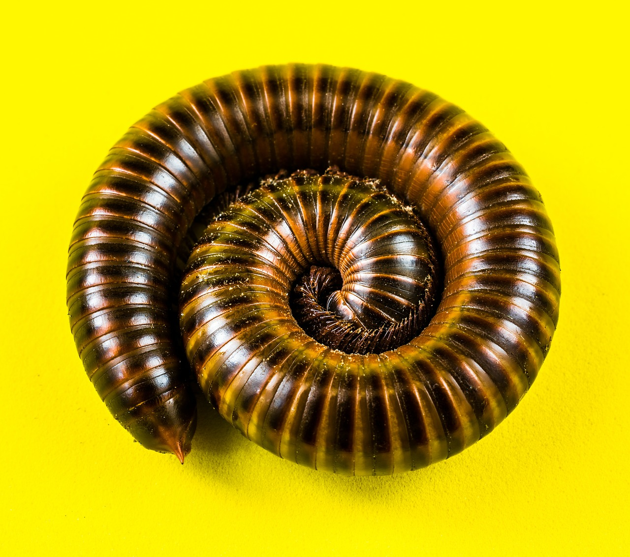 giant tausendfüßer millipedes arthropod free photo