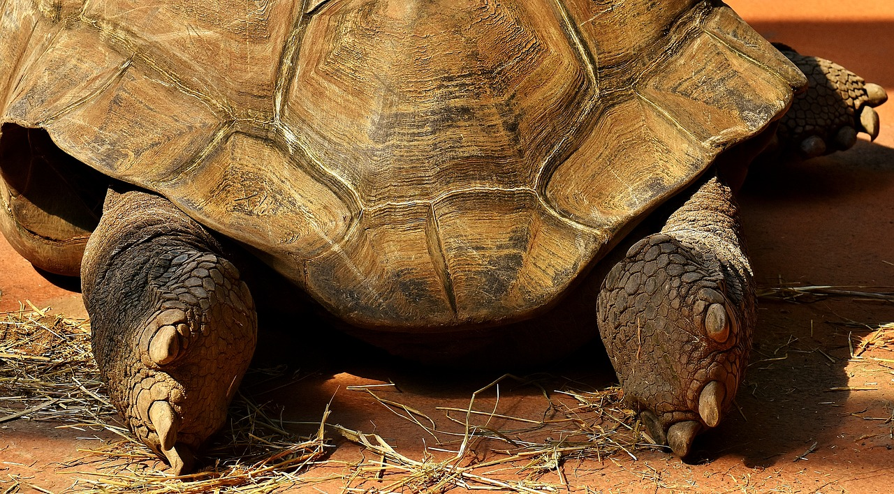 giant tortoise feet rear free photo