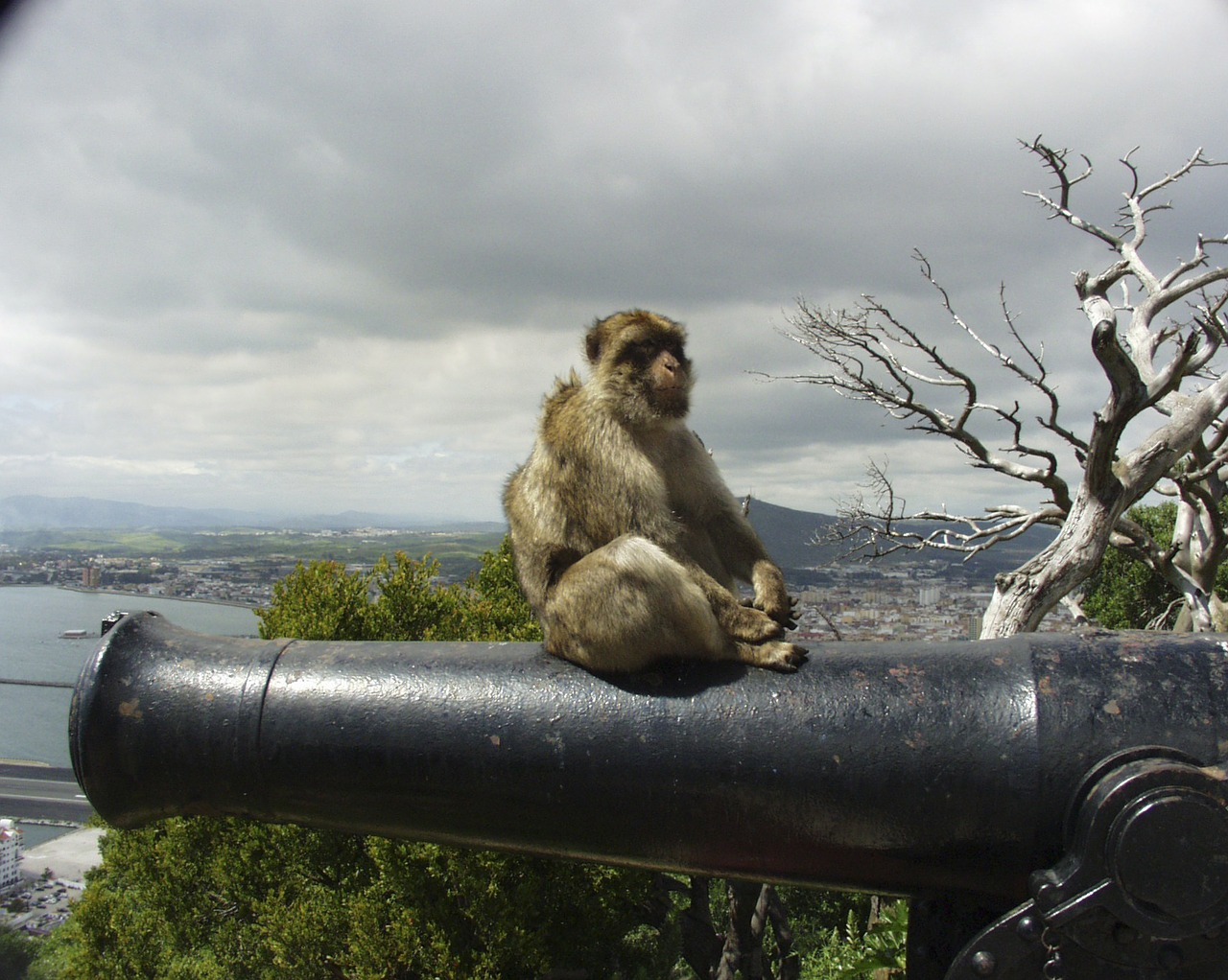 gibraltar,monkey,cannon,animal,europe,mammal,common macaque,berberaffe,primate,free pictures, free photos, free images, royalty free, free illustrations, public domain
