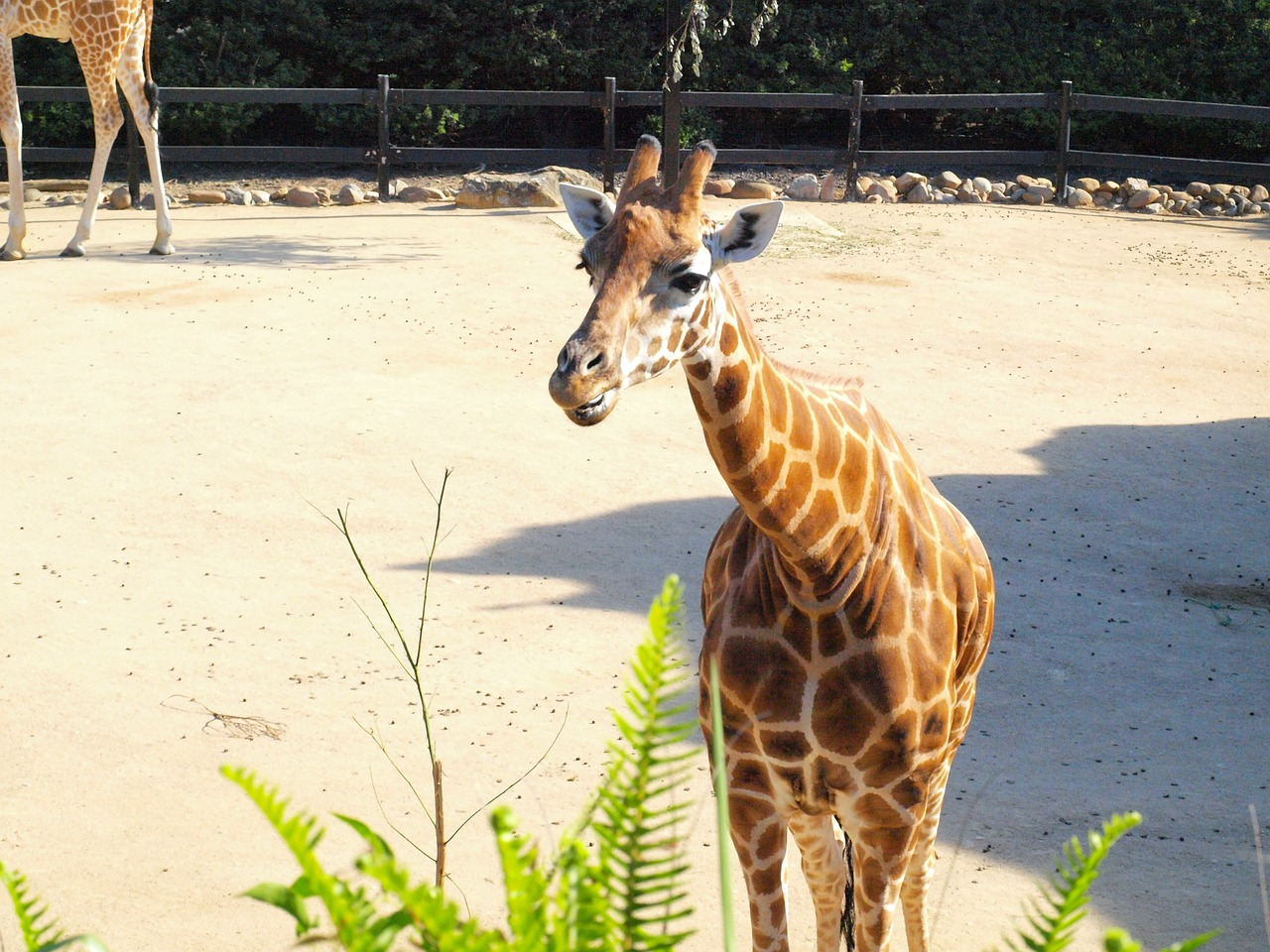 giraffe taronga zoo free photo