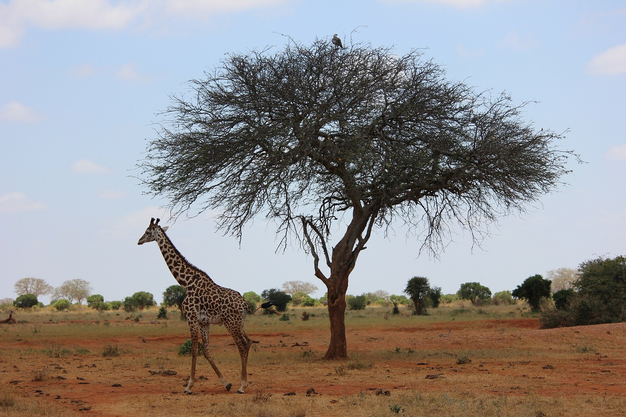 giraffe safari kenya free photo