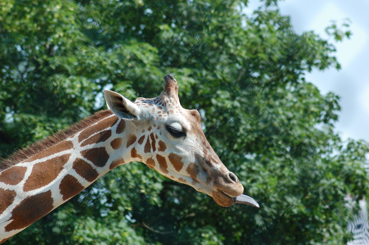 giraffe africa animal free photo