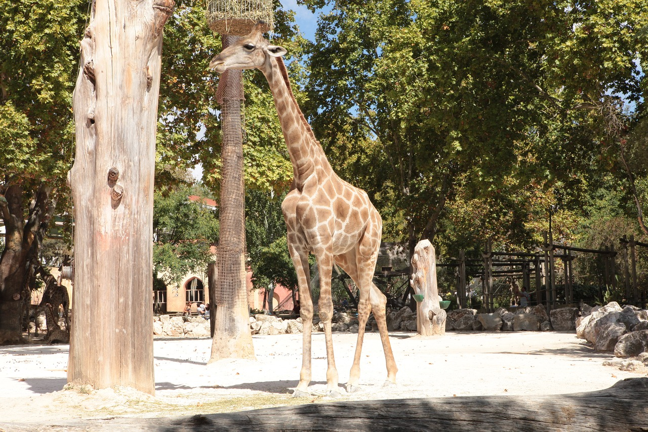 giraffe angola zoo free photo