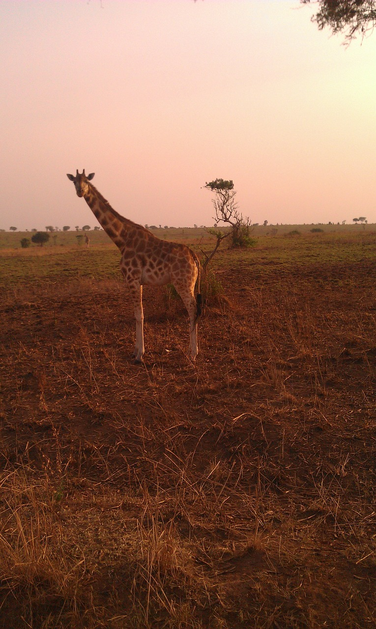 giraffe safari uganda free photo