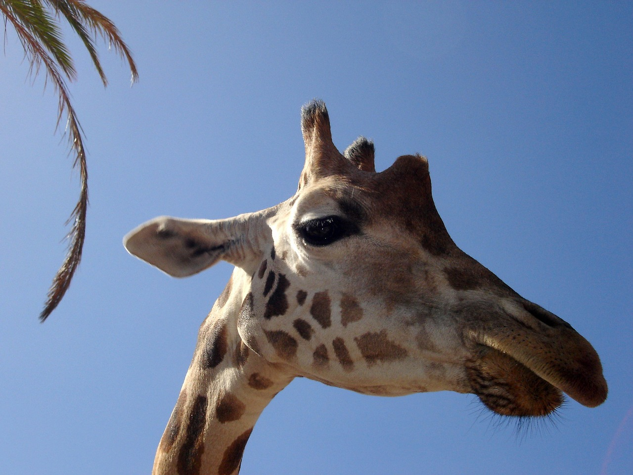 giraffe safari africa free photo