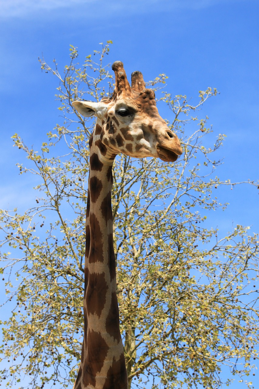giraffe fauna beauvalle free photo