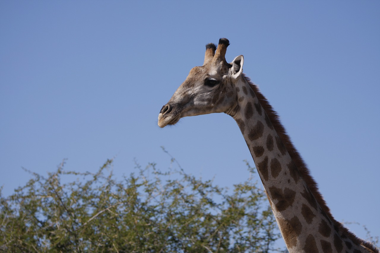 giraffe namibia nature free photo