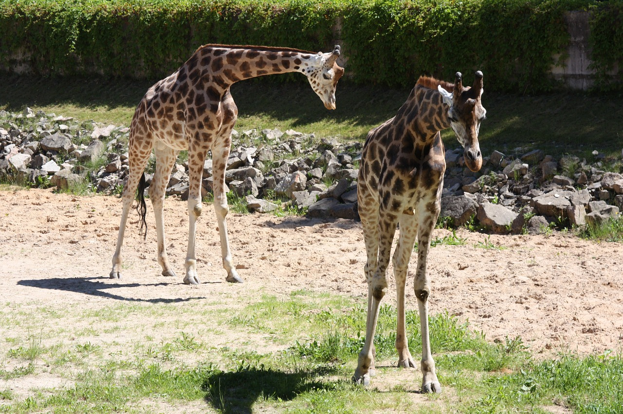 giraffe giraffes zoo free photo
