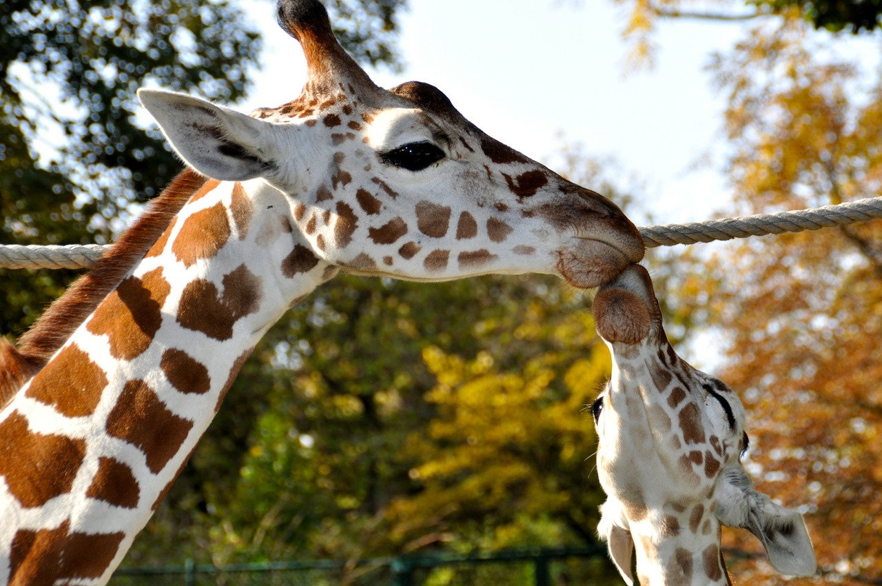 giraffes kiss zoo free photo