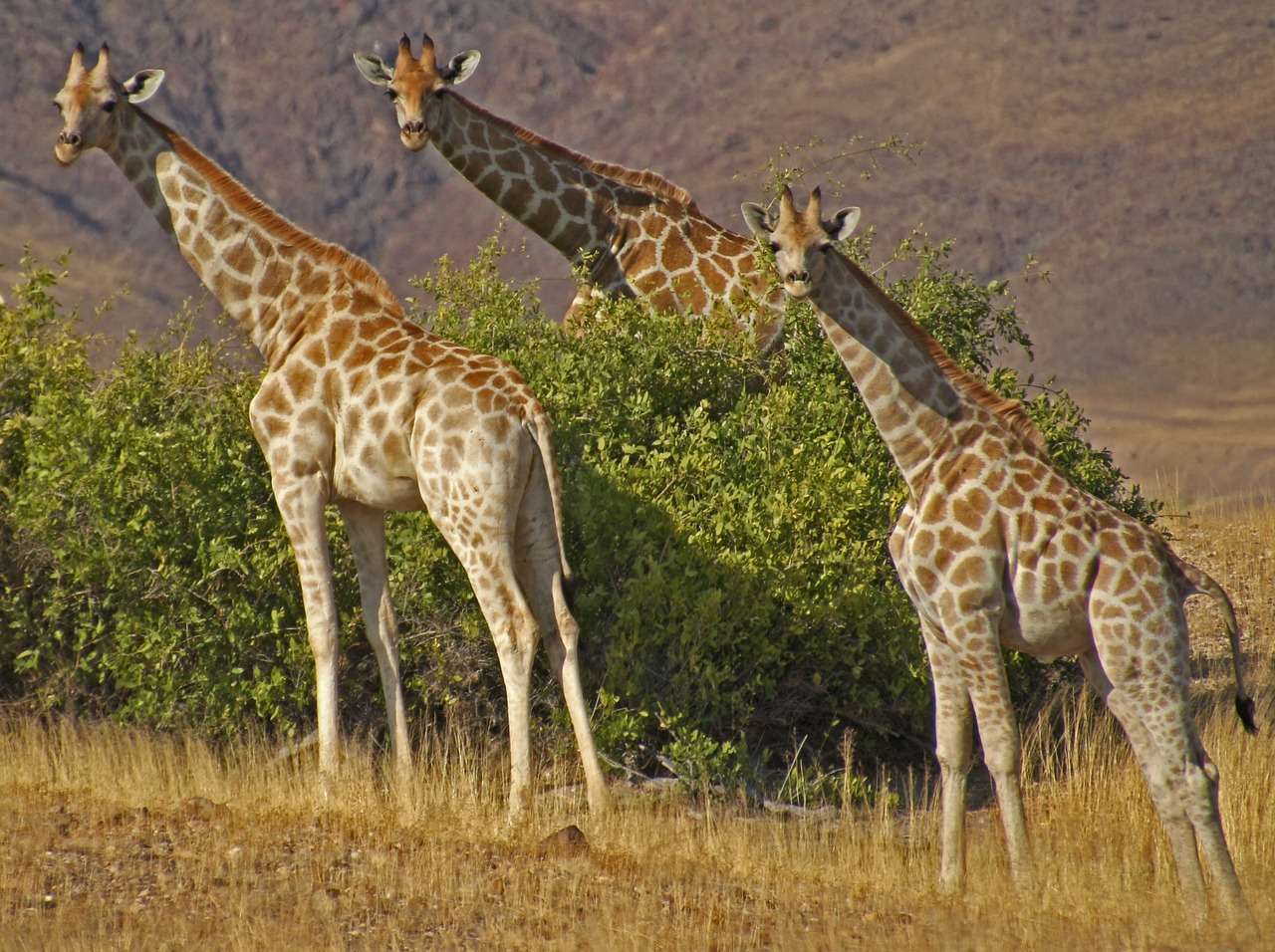 giraffes namibia safari free photo