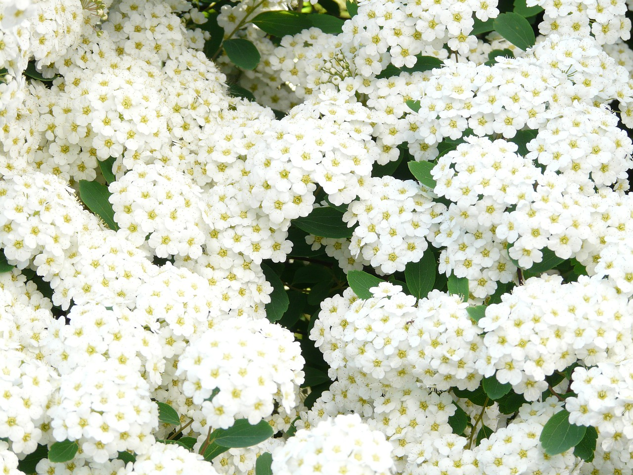 glory spierstrauch flowers white free photo