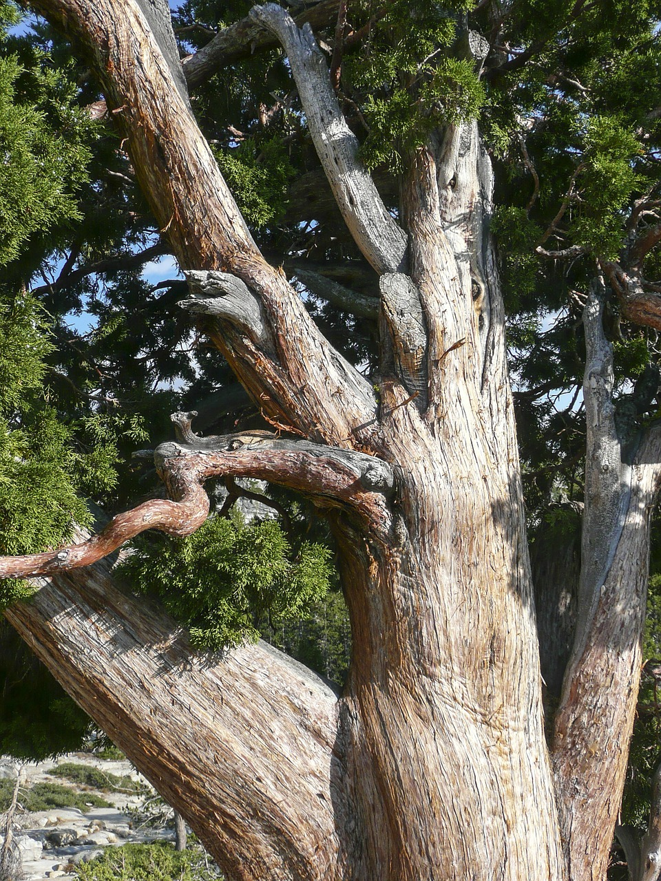 gnarled knobbed knotty free photo