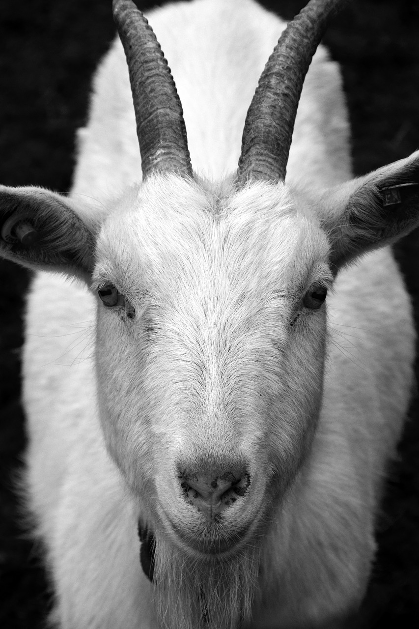 goat billy goat horns free photo
