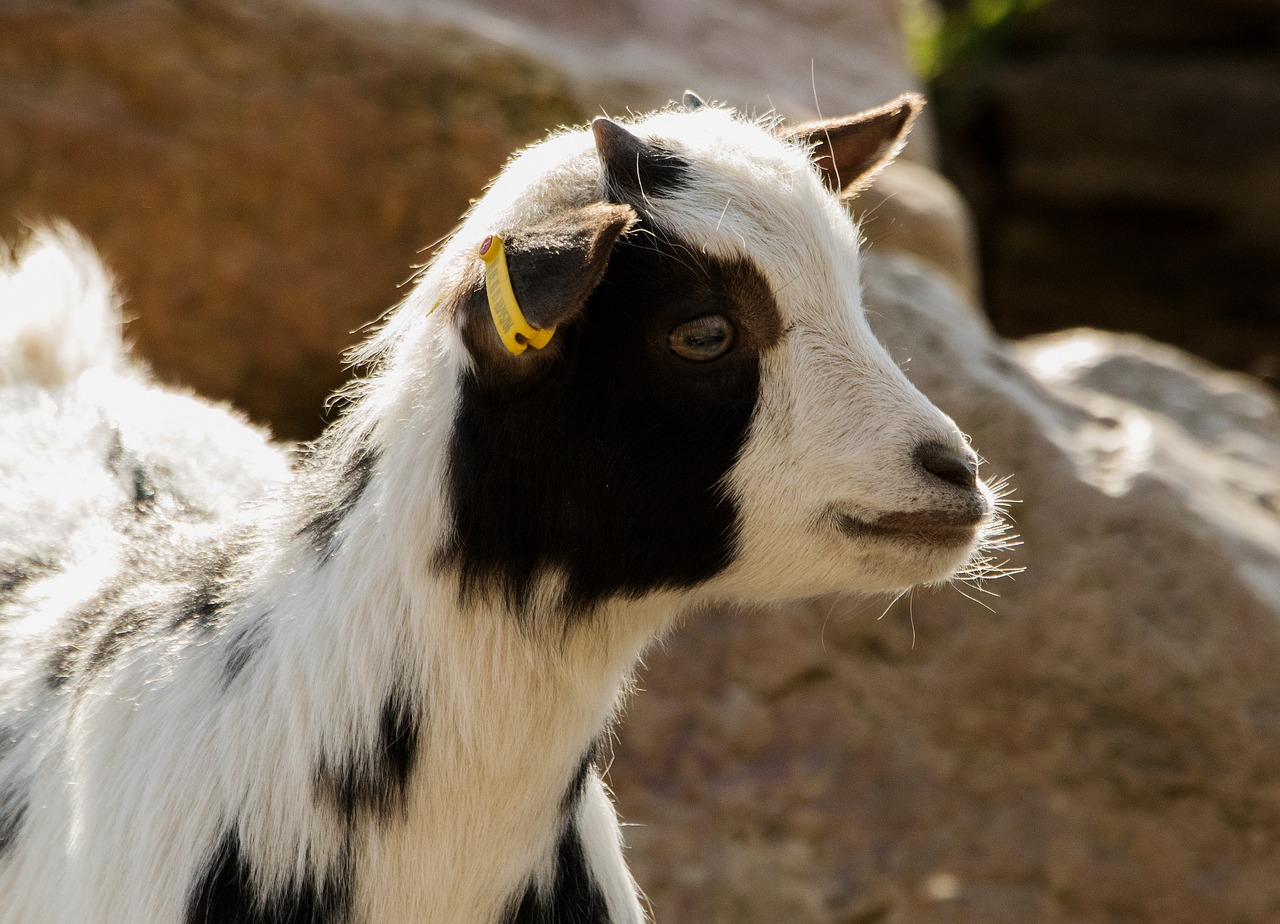 goat,zoo,domestic goat,mountain goat,livestock,enclosure,billy goat,horns,free pictures, free photos, free images, royalty free, free illustrations, public domain