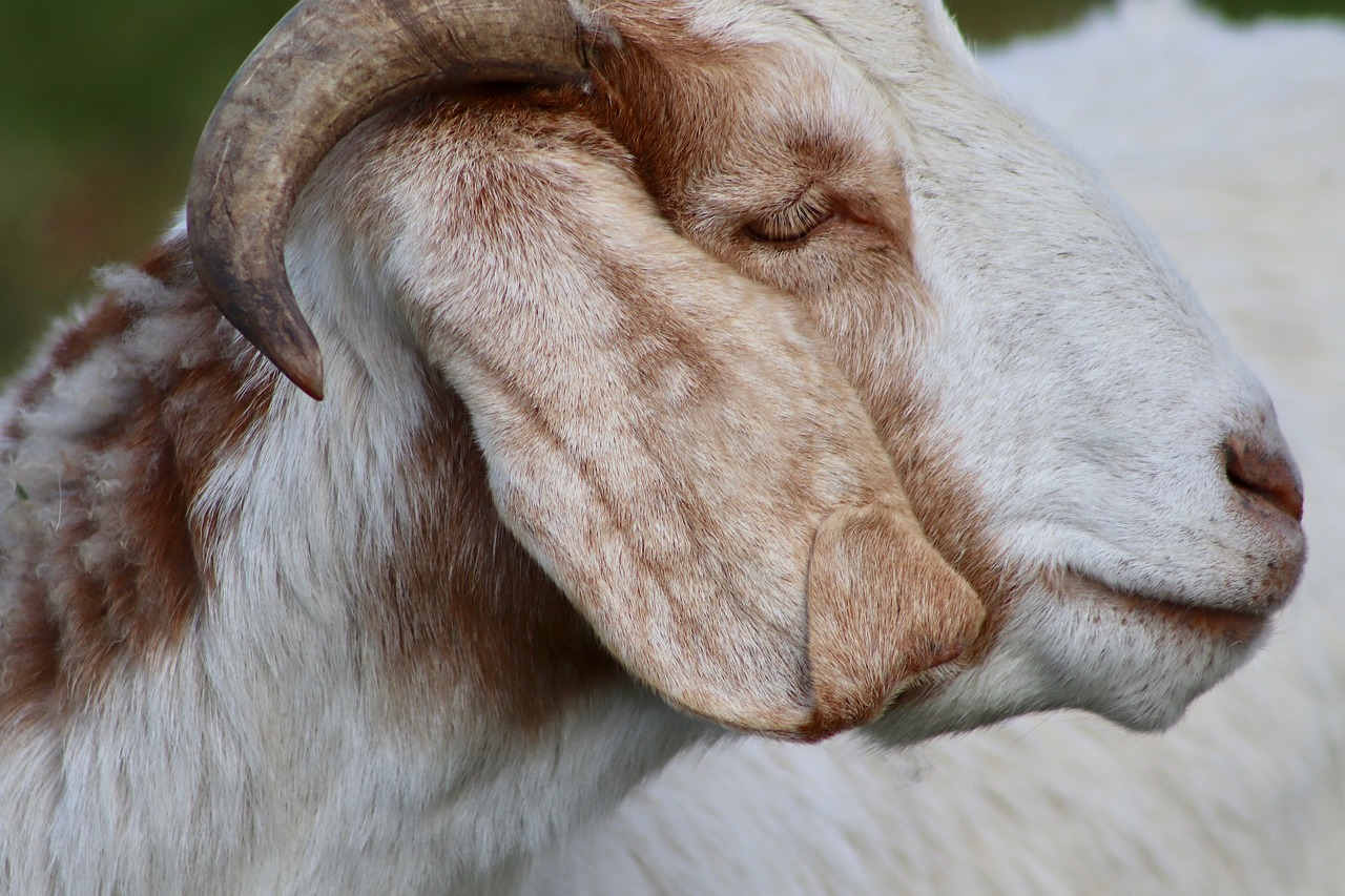 goat  livestock  pet free photo