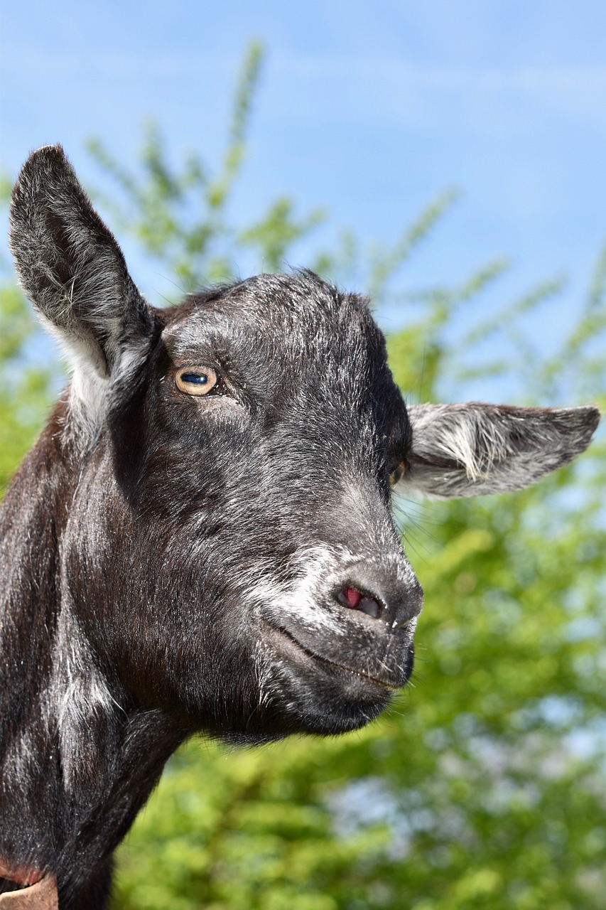 goat  goat color black  ruminant free photo