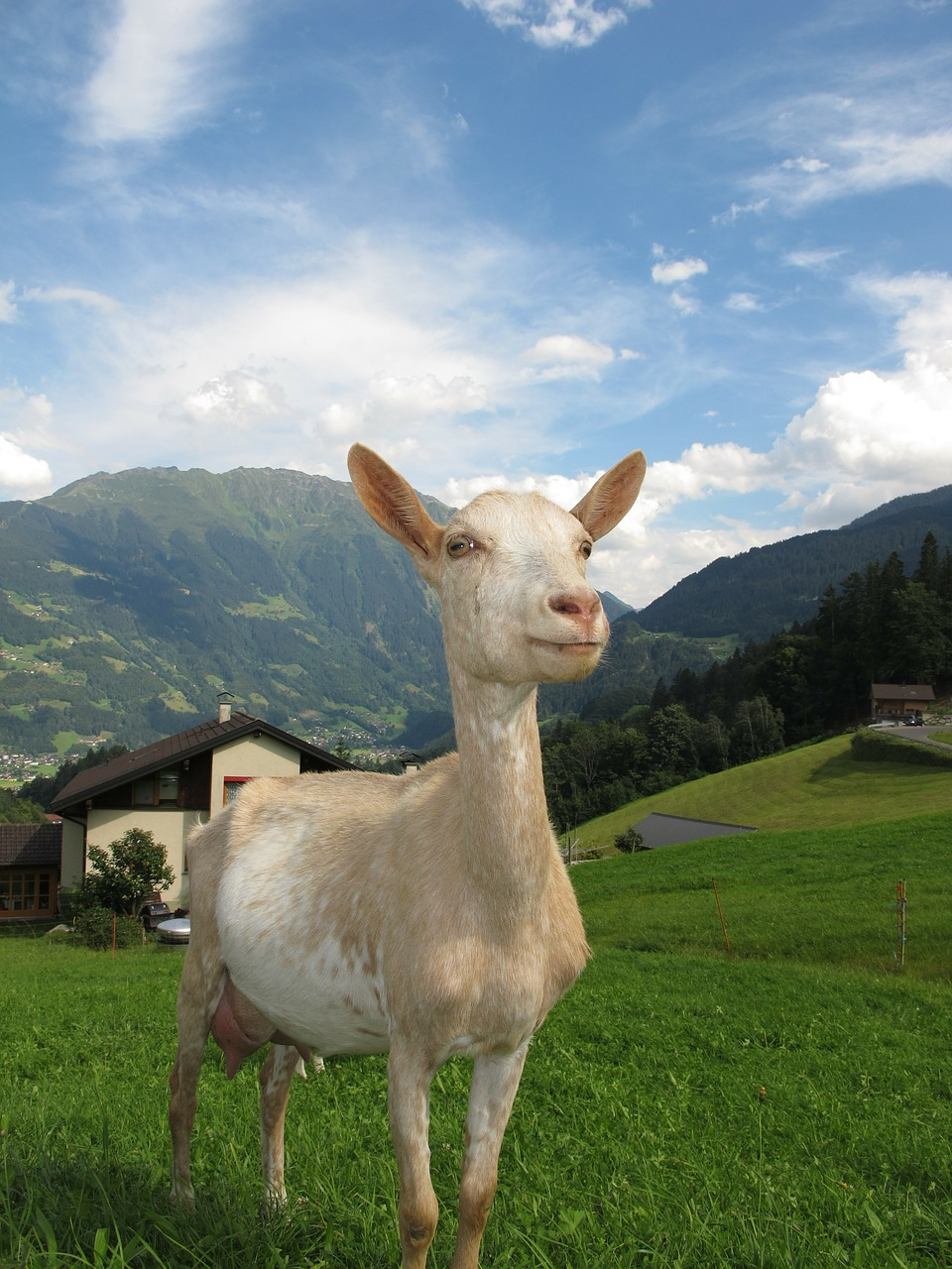 goat in austria austria goat free photo