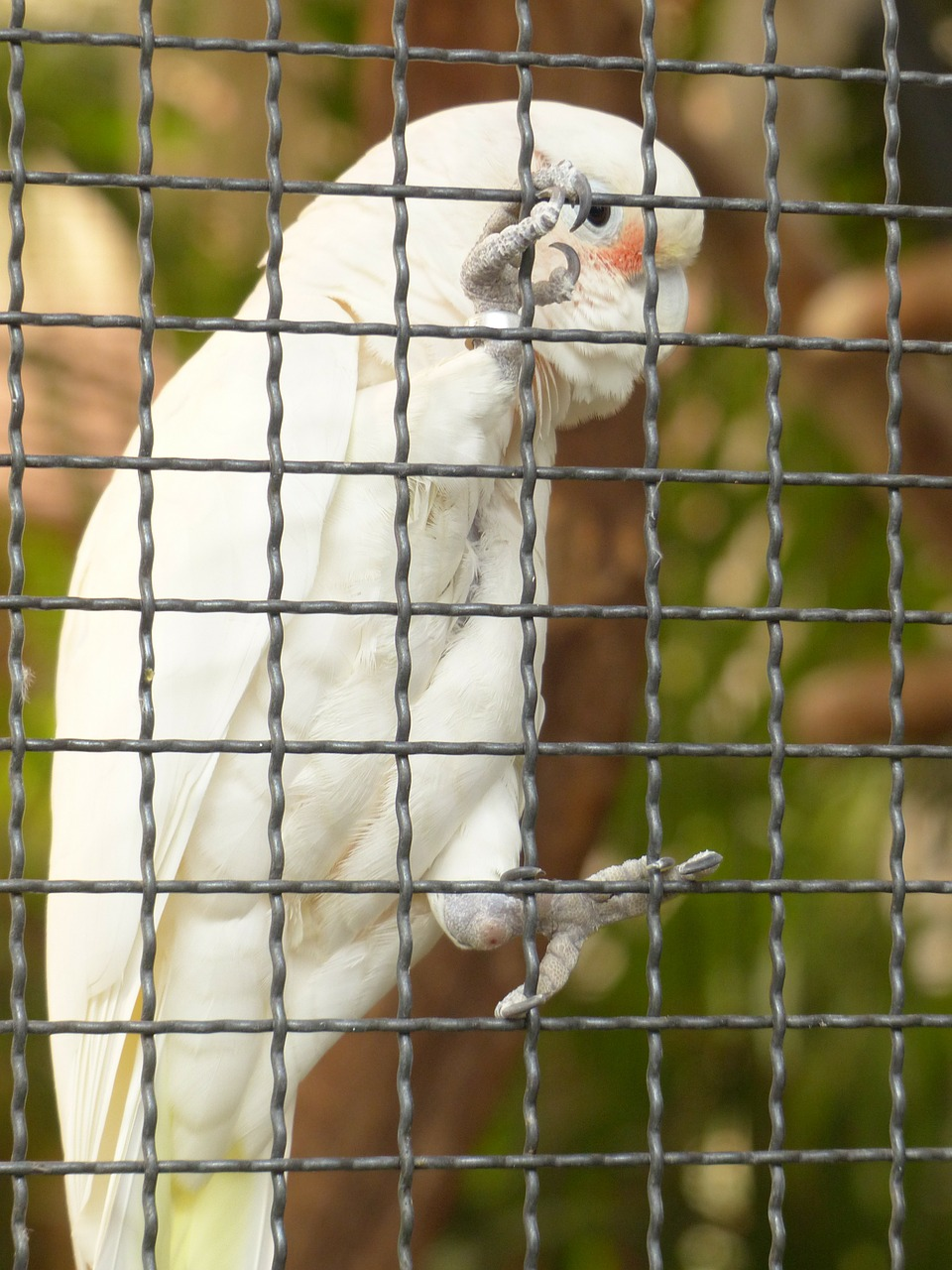 goffins cockatoo cacatua goffiniana cockatoo free photo