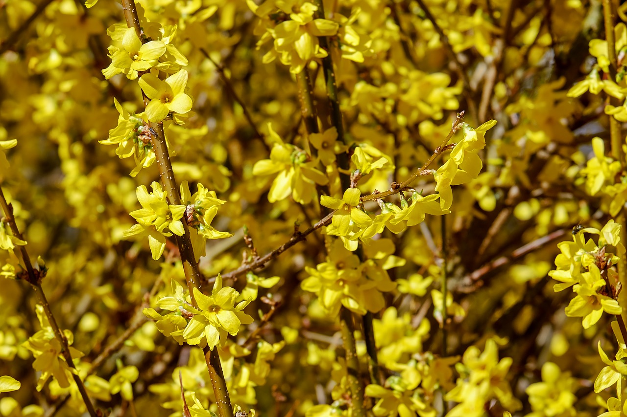 Gold Lilacforsythiabranchesyellowflowers Free Photo From