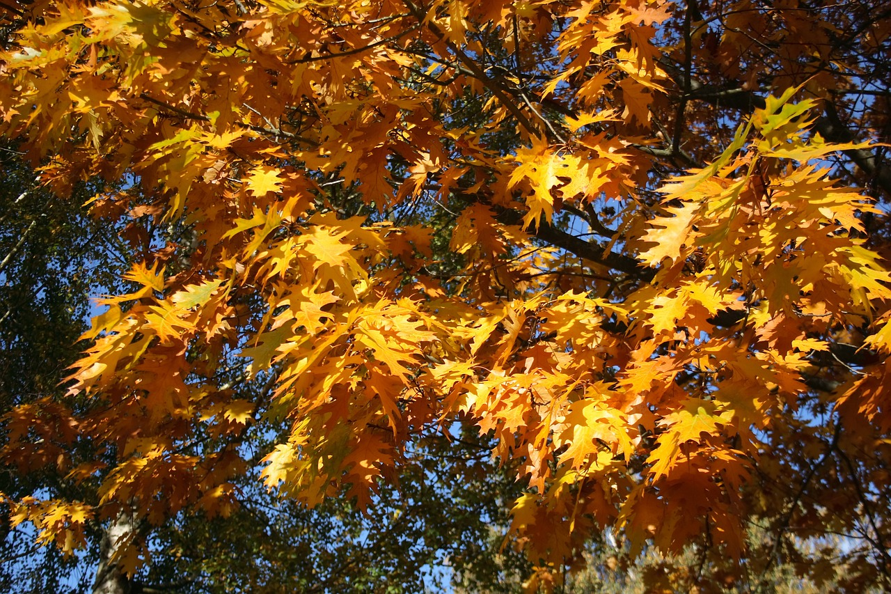 golden autumn,leaves,fall foliage,yellow,tree,free pictures, free photos, free images, royalty free, free illustrations, public domain