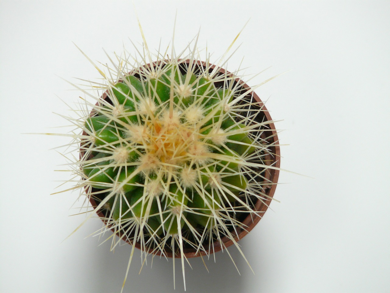 golden ball cactus,cactus,cactus greenhouse,echinocactus,spur,prickly,plant,green,mother in law chair,spiny,echinocactus grusonii,free pictures, free photos, free images, royalty free, free illustrations