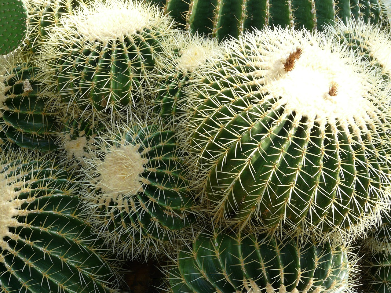 golden ball cactus cactus cactus greenhouse free photo