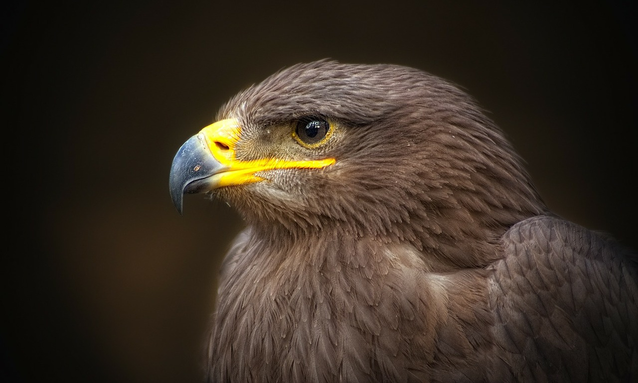 golden eagle bird of prey raptor free photo