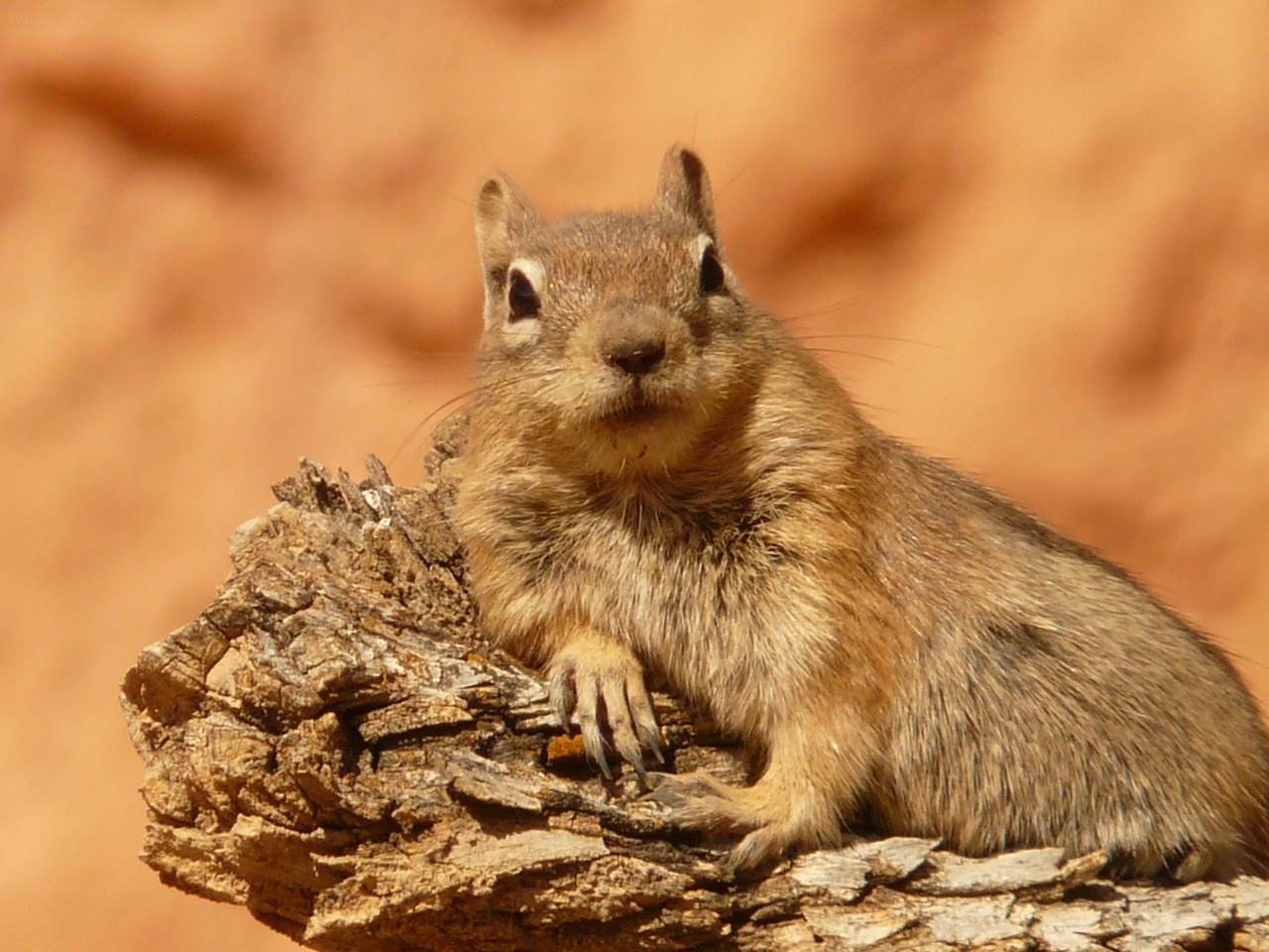 golden mantled ground squirrel spermophilus lateralis croissant free picture