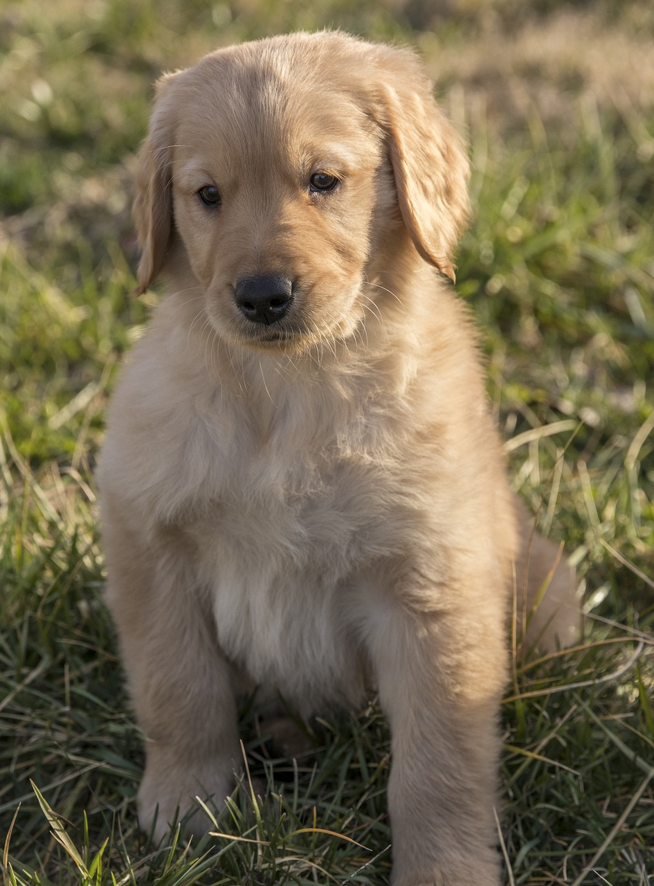 Download Free Photo Of Golden Retriever Puppy Young Dog Pet From Needpix Com