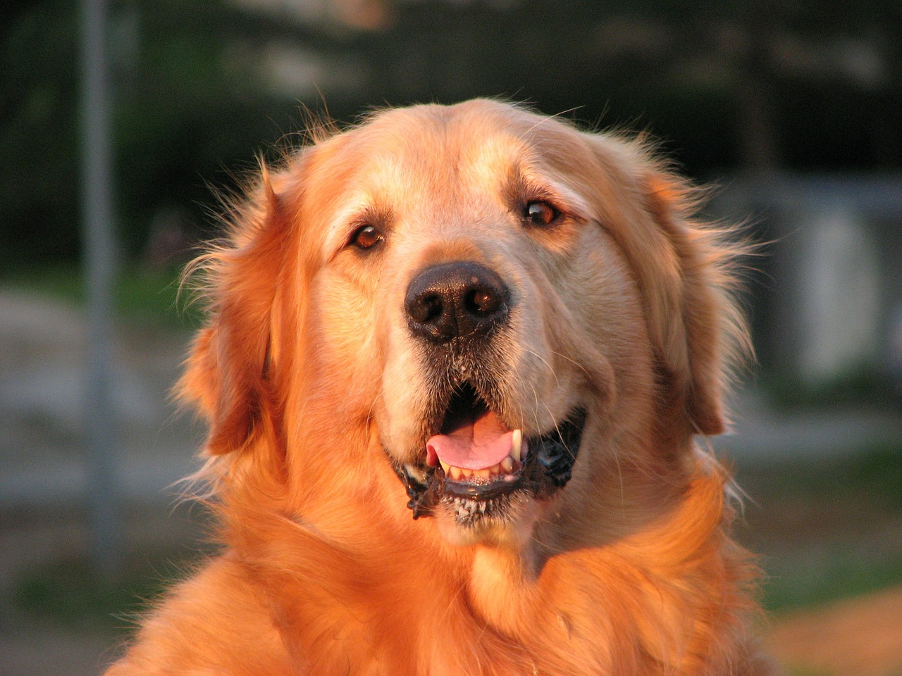 golden retriever dog canine free photo