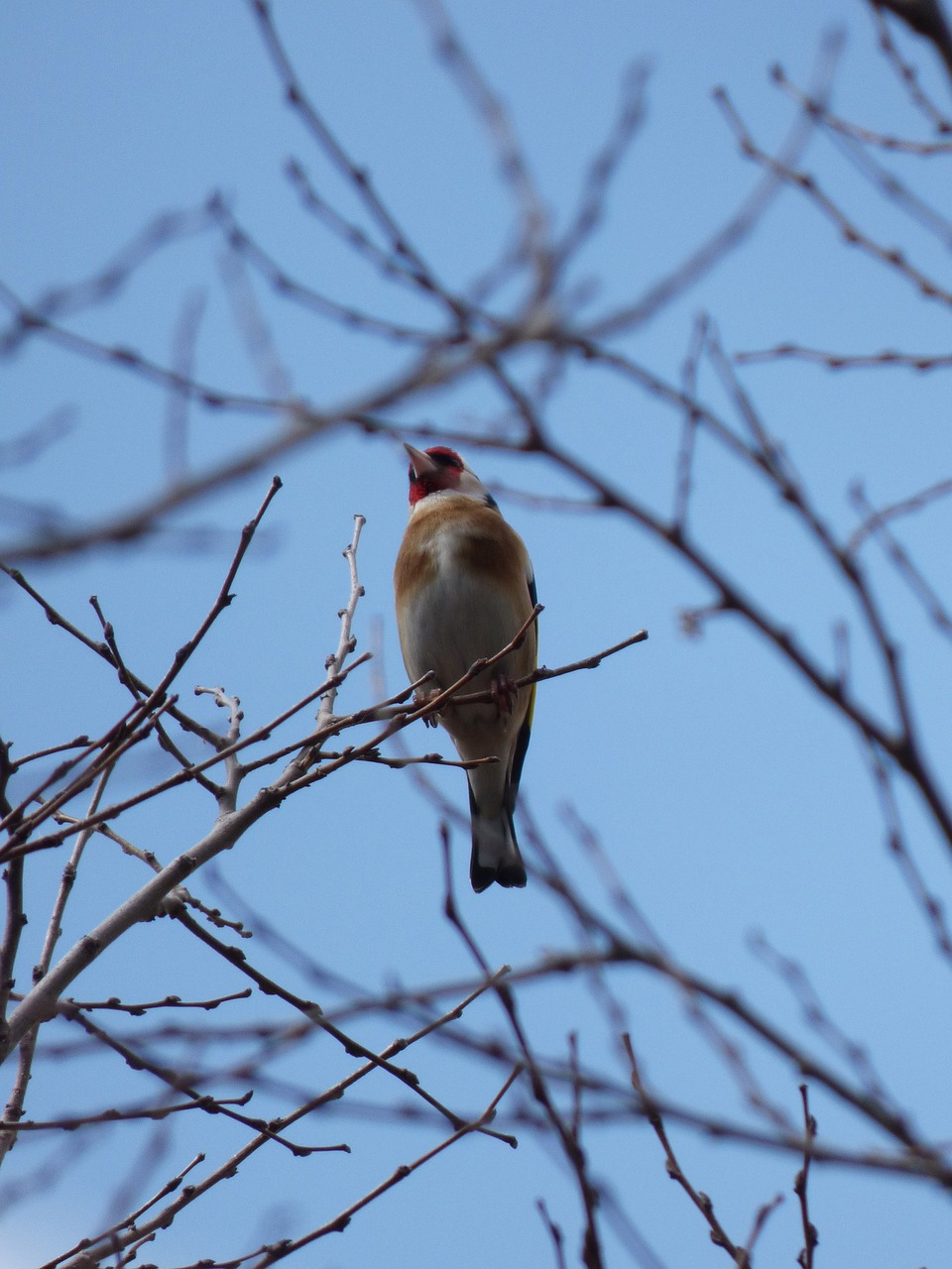 goldfinch cadernera branches free photo