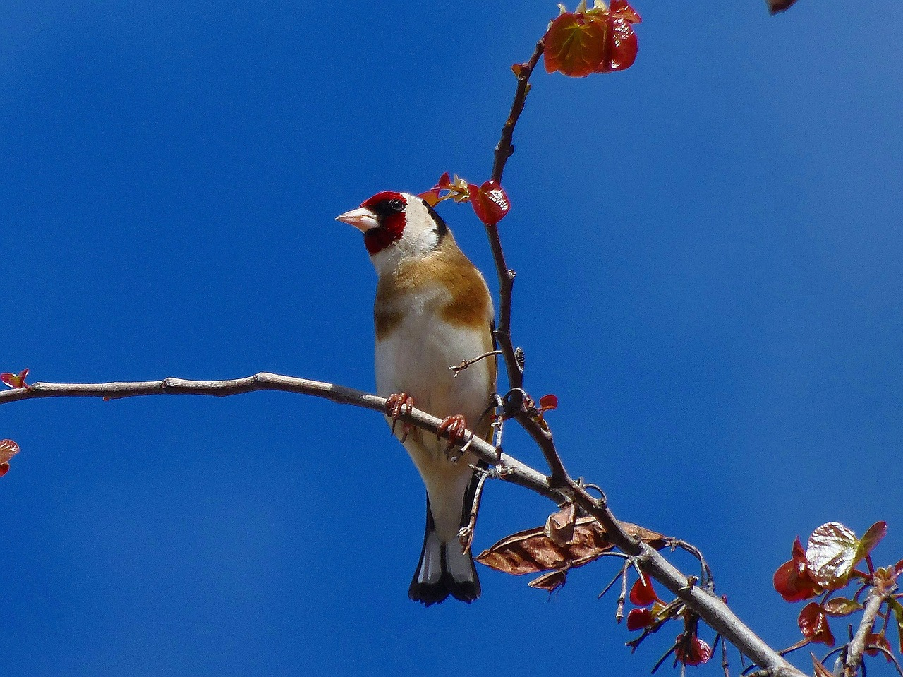goldfinch birds animals free photo
