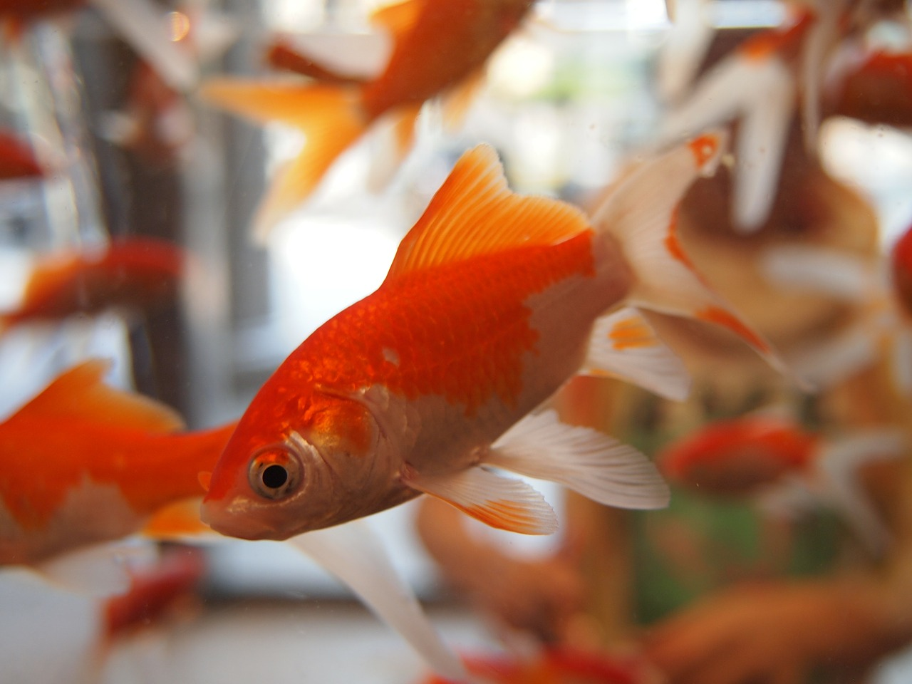 goldfish aquarium underwater free photo