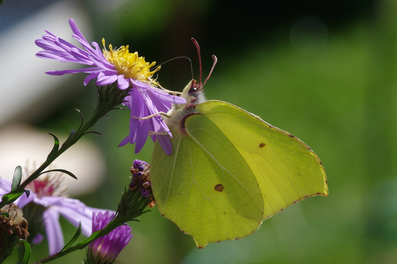 gonepteryx rhamni butterfly autumn free photo