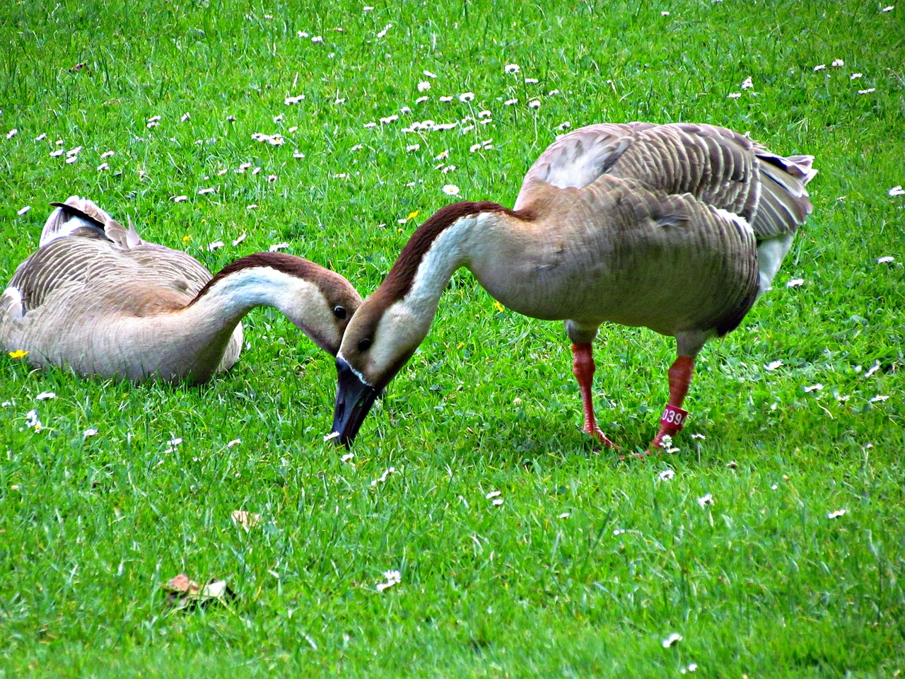 goose geese birds nature pen free photo from