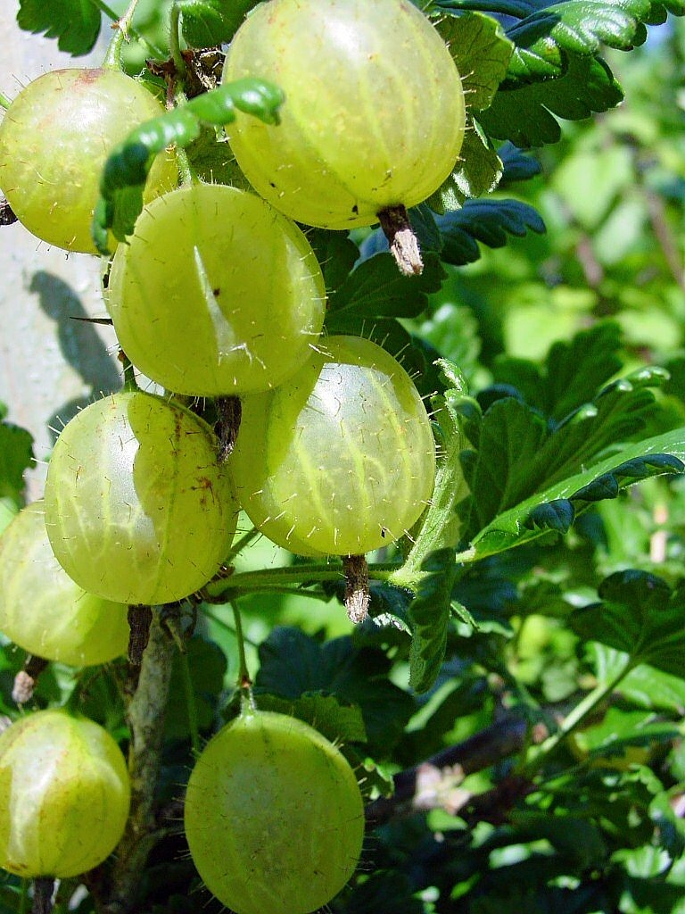 gooseberries berries green free photo