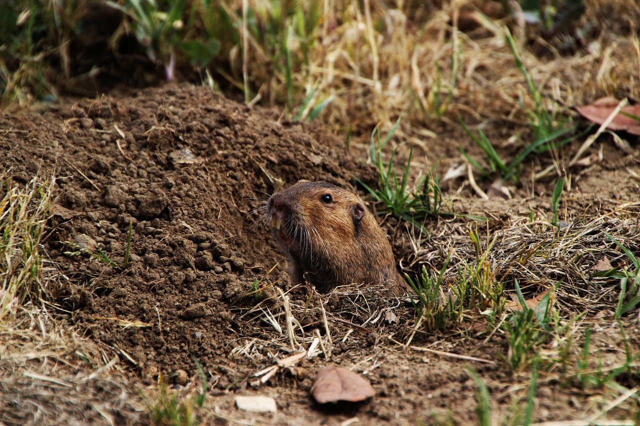 gopher dirt rodent free photo